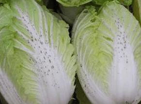 ゴマ症の白菜