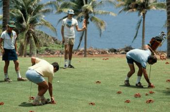 ゴルフ場にアカガニの群れ