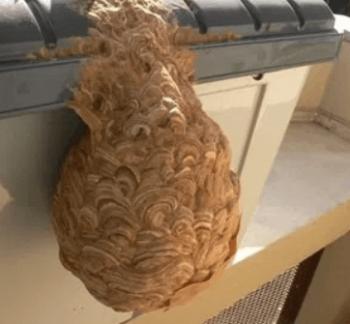 スズメバチ巣大きさ