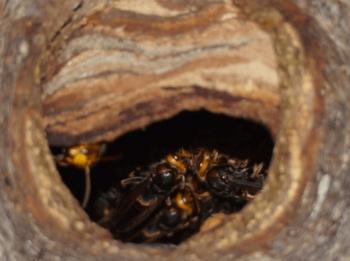 スズメバチ巣安全