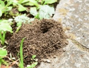 ヒアリアリの巣
