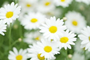 ホワイトデーにマーガレットの花束をプレゼント