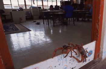 教室に入ろうとするアカガニ
