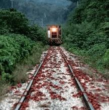 列車が来る線路上にアカガニの大群