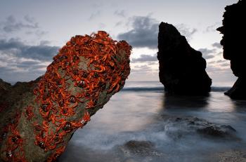 夕暮れの海岸にアカガニが岩に大量にいる