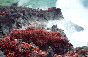 波打ち際の岩場の大量のアカガニ