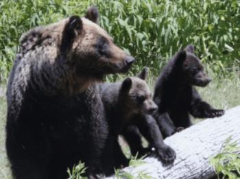 熊遭遇親子