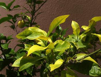 鉄欠乏の金柑の木