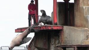 北海道おすすめ水族館トドの豪快ダイビング