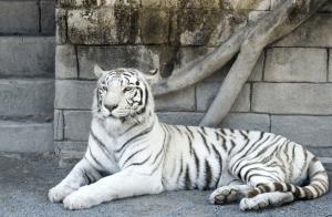 東武動物公園イルミネーション2016ホワイトタイガー