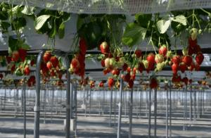 イチゴ狩り愛知県人気ランキングいちご畑2