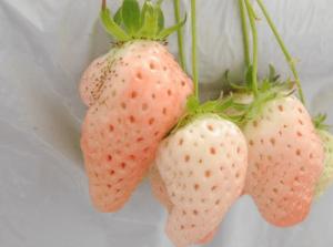 イチゴ狩り愛知県人気ランキングらんらんいちご園2