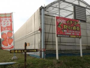 イチゴ狩り愛知県人気ランキング春香園
