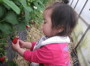 イチゴ狩り愛知県人気ランキング渥美観光丸武園2