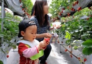 イチゴ狩り愛知県人気ランキング澤田農園2