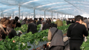 イチゴ狩り愛知県人気ランキング観光農園花ひろば2