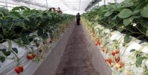 広島県イチゴ狩りランキング2017口コミ立花いちご農園2