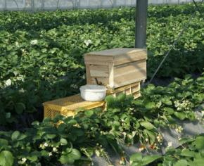 神奈川いちご狩り人気ランキング2017いちごはうす嘉山農園蜂