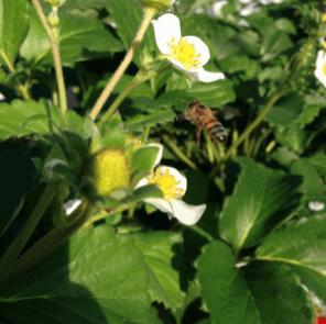 神奈川いちご狩り人気ランキング2017わだいちご園ミツバチ