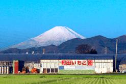 神奈川いちご狩り人気ランキング2017わだいちご園