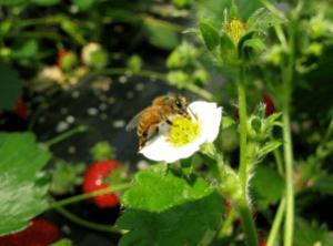 神奈川いちご狩り人気ランキング2017ホヤノイチゴ園ミツバチ