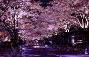 アークヒルズ夜桜