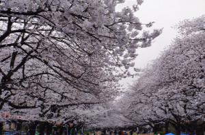 上野恩賜公園桜