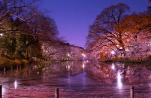 井の頭恩賜公園桜ライトアップ