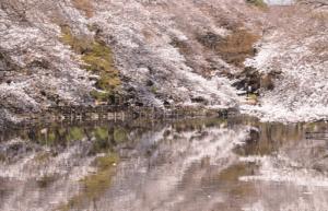 井の頭恩賜公園桜