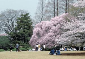 新宿御苑イチヨウ桜