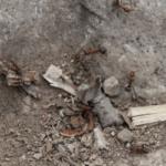 ヒアリと普通のアリの違いの見分け方は?天敵や特徴・大きさも!