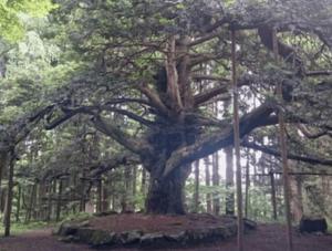 真山神社木